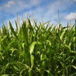 Corn in the field.